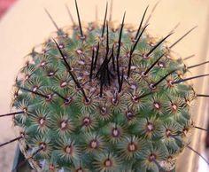 Mammillaria Hutzilopochtlli cactus Cacti And Succulents, Cactus Plants, Agaves, Snake Plant, Cool Plants, Flowers, Garden Ideas, Textiles, Image