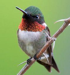 Ruby-throated hummingbird - my favorite backyard visitor
