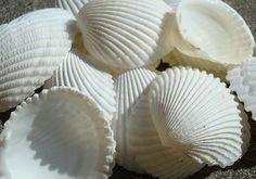 Coco Clam Seashells 20 pcs.  1.5-2