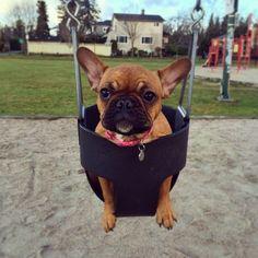 French Bulldog Puppy, Batpig & Me Tumble It