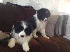 Sister and brother Border Collie Puppies