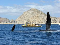 Whale watching in Cabo, an enormous experience you will never forget.