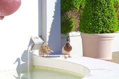 https://flic.kr/p/TxcqMn | pullman hotel redwood shores california | pullman hotel redwood shores california -- where you can see ducks and geese.