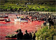 Whale Wars confronts slaughter of Pilot Whales in the Faroe Islands.