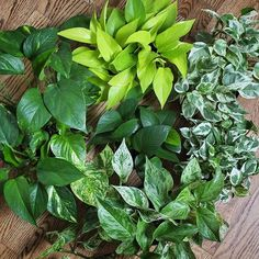 Let's look at some Epipremnum varieties (commonly called Pothos; clockwise from the top): neon, glacier (observe the dots on the white spaces), n'joy (no dots on white spaces), marble queen, golden, and in the middle is a pure green sport that reverted from the marble queen - I made cuttings and put them together #pothos #variety #epipremnum