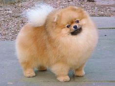 491 Best Pomeranians Images Pomeranian Puppy Pomeranians Cutest