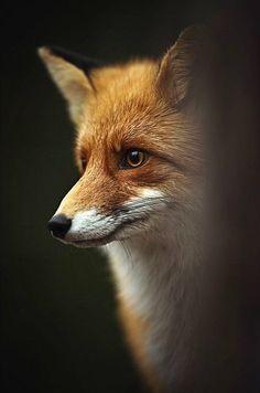 Red Fox by Kai Fagerström