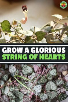 Buy Flowers Online Same Day Delivery This Sweetheart Of A Vine, Ceropegia Woodii, Forms Unusual Flowers And Heart-Shaped Leaves. Our Guide Reveals The Top Tips For Growing It Types Of Succulents, Growing Succulents, Planting Flowers, Hanging Succulents, Buy Flowers Online, Buy Plants Online, Container Gardening, Gardening Tips, Vegetable Gardening