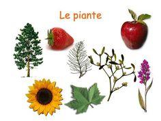 Le piante. Le piante Organismi pluricellulari Autotrofi Cellule di tipo vegetale.