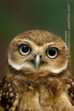 Google Image Result for http://questgarden.com/93/99/2/091227123656/images/Burrowing_Owl_by_guitarjohnny.jpg