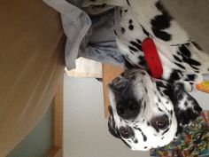 how beautiful this dog is? #dalmatian #dog