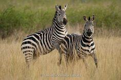 Burchell's zebras fighting (Equus burchellii), Akagera National Park, Rwanda