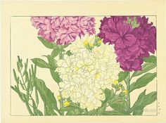Tanigami, Konan - Stock, 1917 / Seiyo Soka Zufu (A Picture Album of Western Plants and Flowers)
