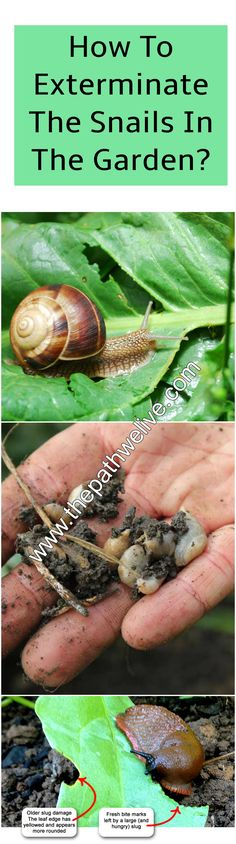 #gardening #tips #snails #getridof #exterminate #remove #plants #destroyed #tips #save #howto