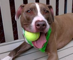 SAFE 10-5-2015 by Pound Hounds Res-Q ---  RETURNED 10/02/15 TOO STRONG --- SAFE 9-11-2015 --- Manhattan Center CHICO – A1049333 NEUTERED MALE, TAN / WHITE, AM PIT BULL TER, 3 yrs OWNER SUR – EVALUATE, NO HOLD Reason MOVE2PRIVA Intake condition EXAM REQ Intake Date 08/27/2015 http://nycdogs.urgentpodr.org/chico-a1049333/
