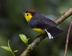 Wild life and nature in Boquete,Panama.