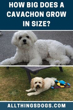 The Cavachon size will be dependent on the size of the parents, with bigger dogs producing bigger offspring, but there's no sure fire way to tell from a puppy. Read our guide to find out the average size of Cavachon dogs.  #cavachonsize #cavachon #cavalierkingcharlesspanielbichonfrisemix King Charles Spaniel, Cavalier King Charles, Miniature Dog Breeds, Big Brown Eyes, Cavachon, Cute Dogs Breeds, Bichon Frise, Big Dogs, Beautiful Dogs