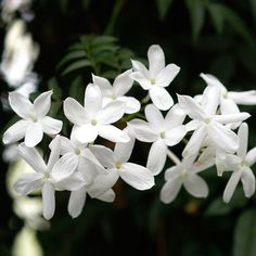 Jasmine........love the look but can't stand the smell !