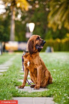 San Francisco Dog Photographer - Bloodhound | Kira Stackhouse #bloodhound #dog #dogphotography #petphotography #dailydog