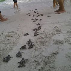Volunteers make sure these newly hatched baby turtles make their way safely to the Gulf of Mexico. In Venice, Florida Beach Vacation Rentals, Florida Vacation, Florida Travel, Florida Beaches, Sanibel Florida, Florida Usa, Florida Camping, Vacation Memories, Florida Girl