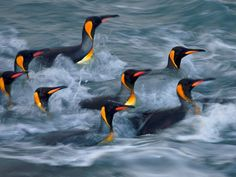 King Penguins, Gold Harbour    Photograph by Paul Nicklen    King penguins rinse in the surf zone of Gold Harbour on South Georgia. The island's king penguin populations are soaring. In 1925 only 1,100 kings were counted at St. Andrews Bay; since then there has been a 300-fold increase in the rookery.