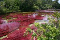 "Caño Cristales | Vistahermosa, Colombia | An explosion of natural color known as ""the river that ran away from paradise"" 