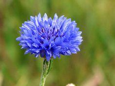 Blue, I like it. Blue Flowers, Indoor Plants, Beautiful Flowers, Corn Flower, Summer 3, Garden, Landscapes, Tattoo, Fashion