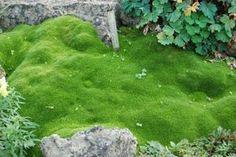 Sagina subulata (IRISH MOSS) Looks like moss, but not actually moss. Loves full exposure to the sun!