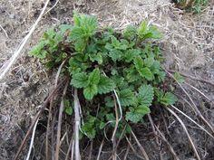 Sitronmelisse Planters, Plant, Window Boxes, Flower Pots, Flower Planters, Pots