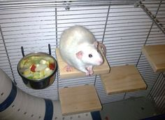 would be an awesome idea for a gerbil cage Diy rat shelves. would be an awesome idea for a gerbil cage Diy Hamster House, Cage Hamster, Gerbil Cages, Hamster Care, Cage Rat, Diy Rat Toys, Diy Rodent Toys, Rat Cage Accessories, Rat Care