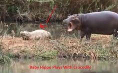 Baby Hippo Plays With Crocodile