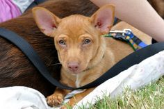 Blade (Amora's Pup) is an adoptable Chihuahua Dog in Alpharetta, GA. Blade (Amora's Pup)  Chihuahua Mix:  Lap Dog and Foot Warmer in Alpharetta, GA More about Blade:  All 3 sets of puppy shots, House ...