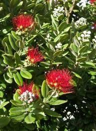 Image result for nz christmas bush