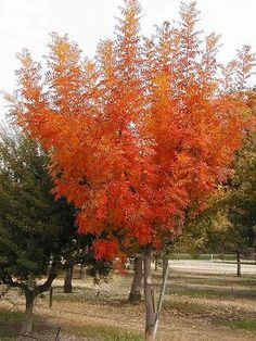 Texas Superstar Chinese Pistache Long-lived, winter hardy shade tree with spectacular red, red-orange fall color. Outstanding heat, drought and soil tolerance. Extremely pest resistant. A near perfect shade tree for one-story buildings.