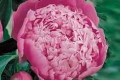 Tesselaar - Peony Rose Monsieur Jules Elie