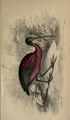 Glossy ibis, The Naturalist's Library, conducted by Sir William Jardine, Vol. III Ornithology (Birds of Great Britain and Ireland), circa Animal Atlas, Vintage Artwork, Vintage Images, Bird Clipart, Nature Sketch, Type Illustration, Vintage Birds, Typography Prints, Bird Prints