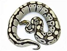 What is a ghost ball python?