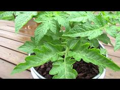 Foliar Spraying: Stopping Tomato Fungal Diseases with Baking Soda - The Rusted Garden 2013 Growing Tomatoes In Containers, Growing Vegetables, Gardening Supplies, Gardening Tips, Vegetable Garden Planning, Garden Pests, Garden Fertilizers, Organic Gardening, Urban Gardening