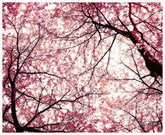 Washington DC Cherry Blossom Festival. Miss this!