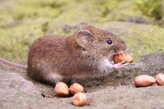 Bank Vole | Sucker for some peanuts. | charlie.syme | Flickr