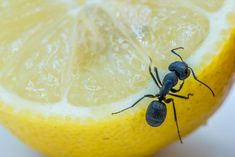 Ako sa zbaviť mravcov v byte, dome, na záhrade aj v pieskovisku Camembert Cheese