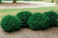 Buxus x 'Green Mound' Green Mound Boxwood. supposed to be a good species for forming hedges b/c of it's mounding tendency