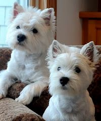 I love looking at Katie's photos on her blog, her Westies are adorable and are related to my Finny!