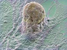 Celula madre. Las células madre se obtienen de embriones y pueden ser inducidas a permanecer en su estado original o activarlas para formar casi cualquier tipo de célula humana.