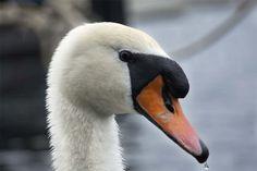 Swan in Copenhagen