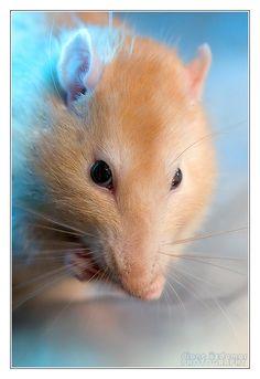 Gaheris 1 - Fancy rat - RIP by DianePhotos on DeviantArt