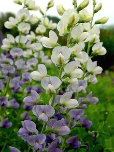 Baptisia Lunar Eclipse - white with lavender flowers on the same stem  - growth habits are listed on this post - via Bluestone Perennials