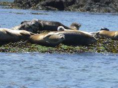 Maine Harbor Seals. I love them.<3