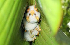 第48回 世界で唯一の白いコウモリ | ナショナル ジオグラフィック(NATIONAL GEOGRAPHIC) 日本版公式サイト