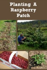 Planting A Raspberry Patc